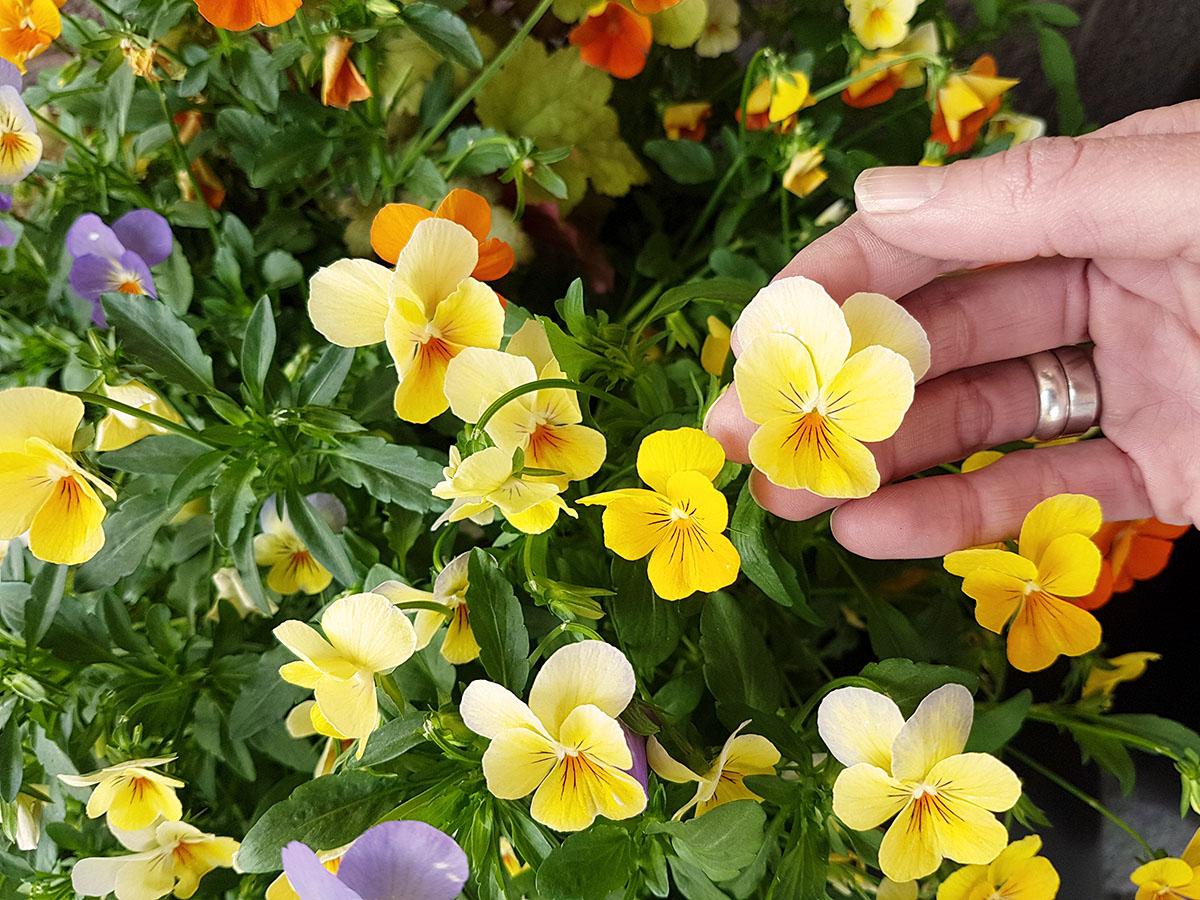 Keltaisia orvokkeja, käsi pitelee yhtä kukkaa