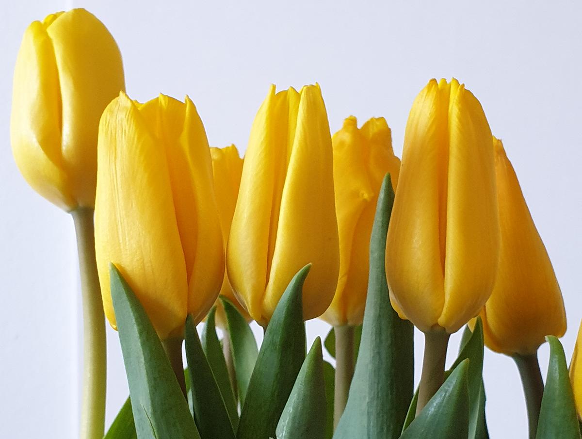 Kuvassa keltaisia tulppaaneja